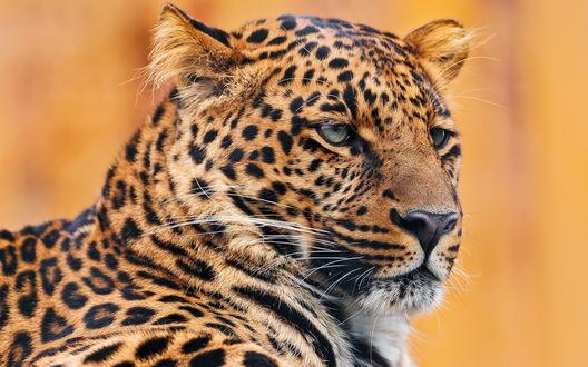 Обои Морда леопарда