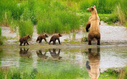 Обои Медведица и медвежата выходят из воды