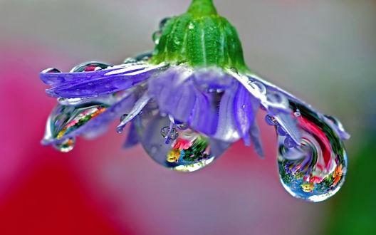 Обои Капли росы на синем цветке