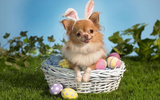 Обои Пасхальный песик с ушками зайца сидит в корзине с окрашенными яицами