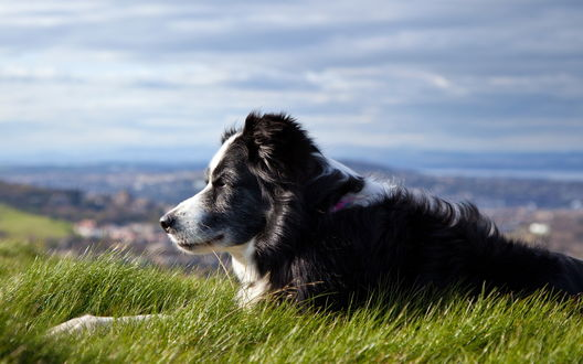 Обои Собака лежит в траве и смотрит куда-то вдаль