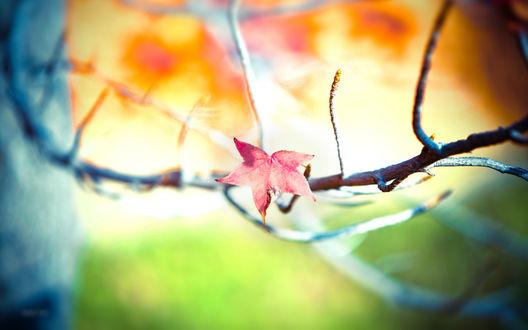 Обои Кленовый листочек на дереве