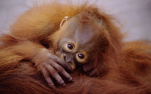 Обои Милый детеныш орангутанга