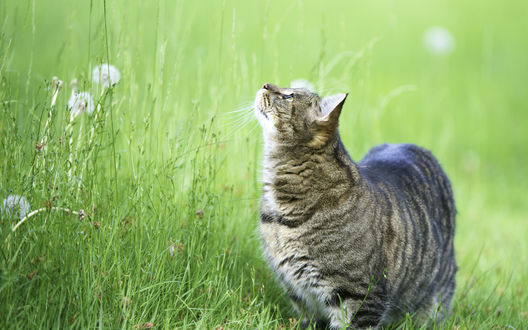 Обои Серый кот в зелёной траве