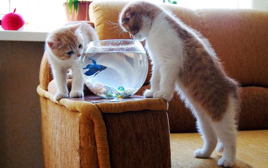 Обои Два шкодливых котенка заглядывают в аквариум с рыбкой