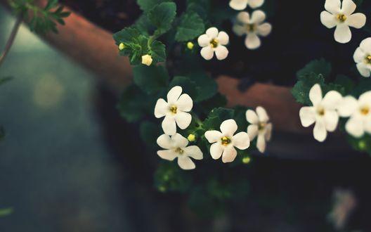 Обои Белые нежные цветы
