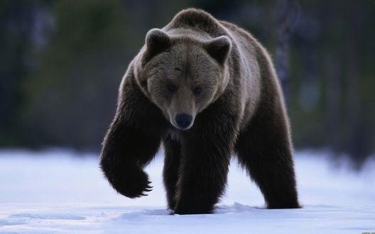 Обои Медведь идет по снегу