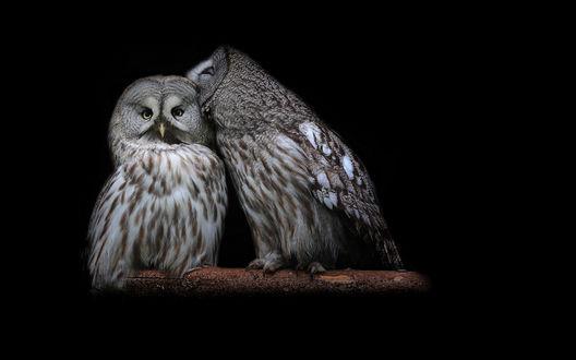 Обои Пара сов на ветке