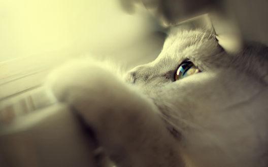 Обои Белый котик положил лапу на окно