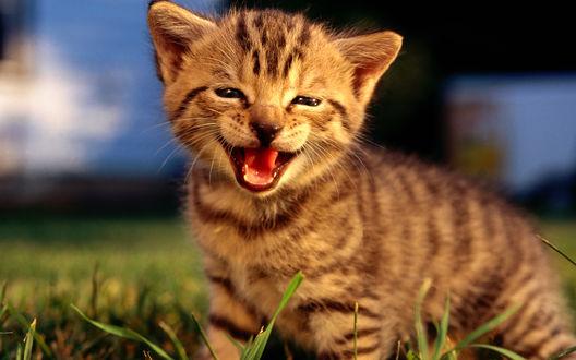 Обои Котёнок в траве улыбается