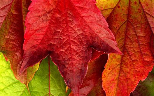 Обои Красный осенний лист