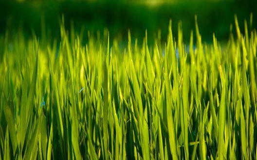Обои Свежая зеленая трава