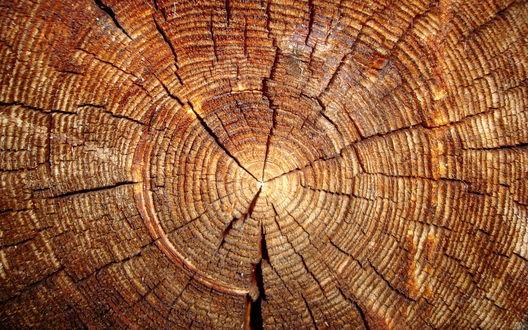 Обои Кольца на срезе пожилого дерева