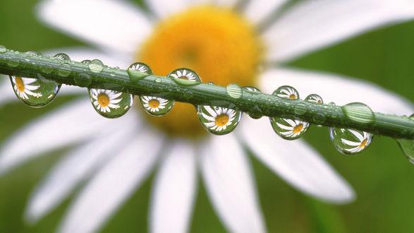 Обои Стебель покрытый каплями воды, в каждой капле отражаются ромашки