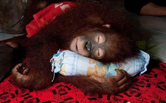 Обои Орангутанг спит на подушке