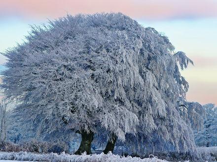 Обои Большое дерево, покрытое инеем