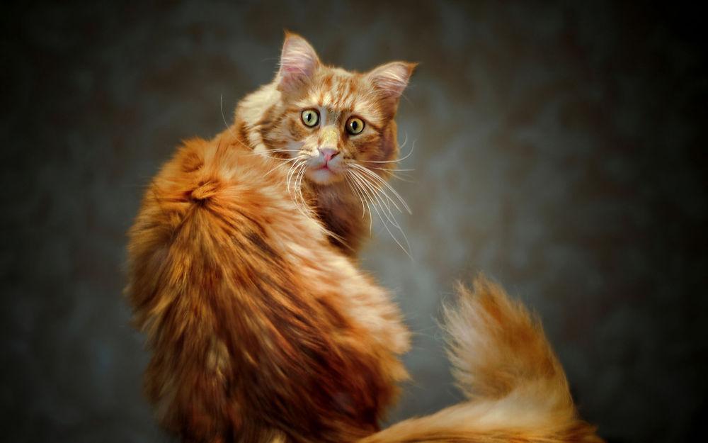Обои для рабочего стола Удивленно-испуганный взгляд рыжего кота