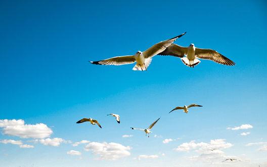 Обои Чайки в небе