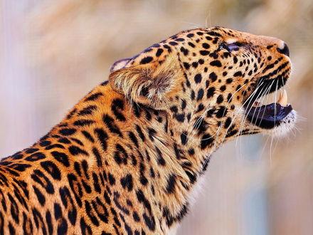 Обои Красивый леопард с открытым ртом поднял голову в верх