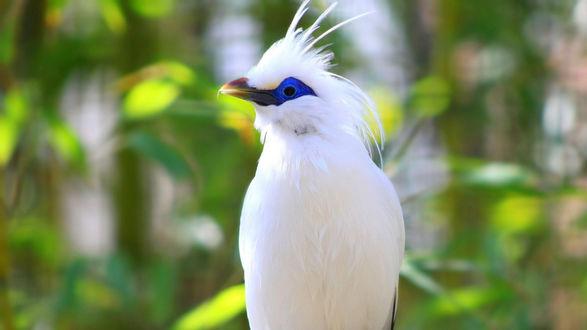 Обои Красивая, белая птица с синими глазками