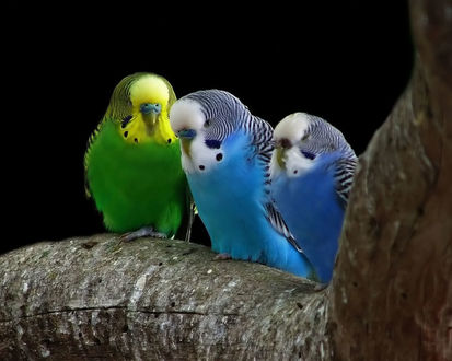 Обои Волнистые попугайчики сидят на ветке