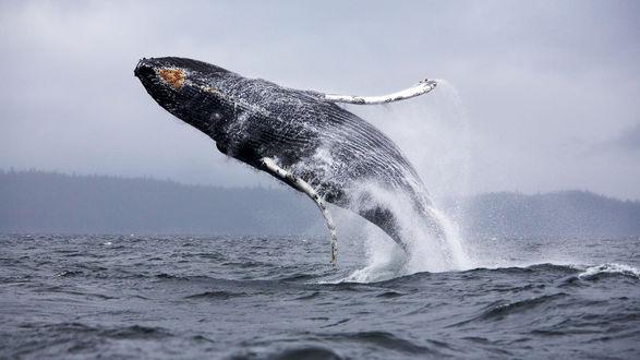 Обои Огромный кит, выпрыгивает из морских глубин