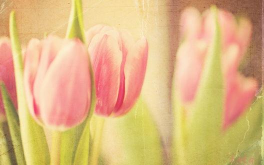 Обои Бутоны розовых тюльпанов