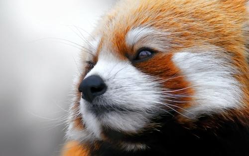 Обои Морда красной панды.