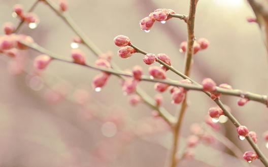Обои Почки розовых цветов на ветке, укрытые каплями дождя