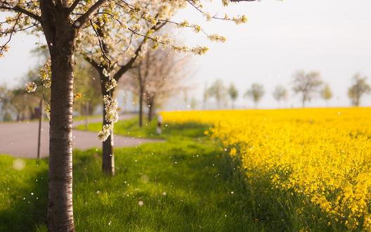 Обои Деревья с цветами, рядом желтое поле и дорога