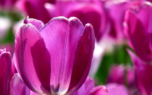 Обои Фиолетовые тюльпаны