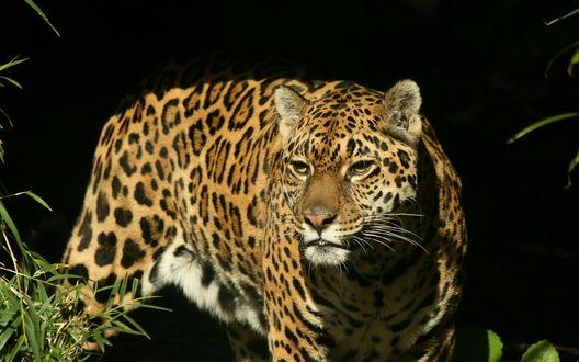 Обои Ягуар на охоте