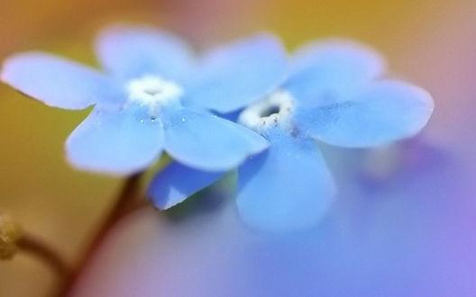 Обои Голубые цветочки