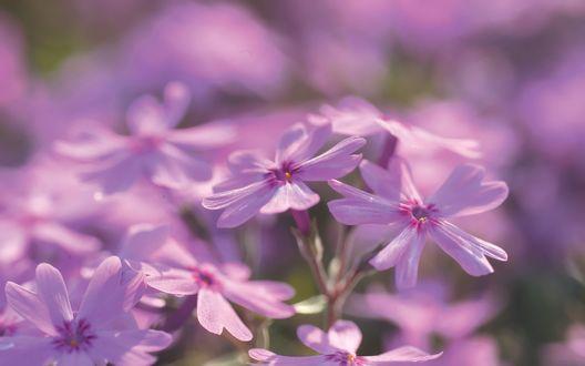 Обои Фиолетовые цветы