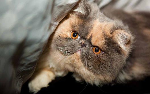 Обои Экзотическая короткошерстная кошка