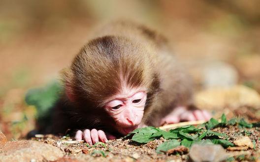 Обои Маленькая обезьянка кушает листики