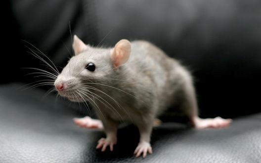 Обои Декоративная, серая крыса