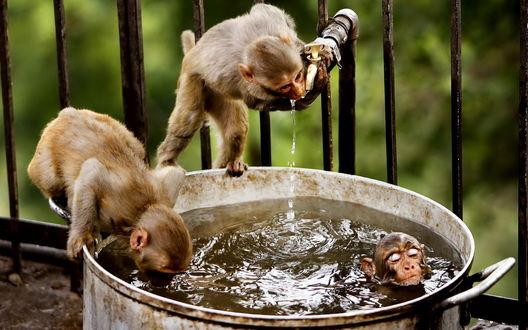 Обои Обезьянки резвятся возле кастрюли с водой