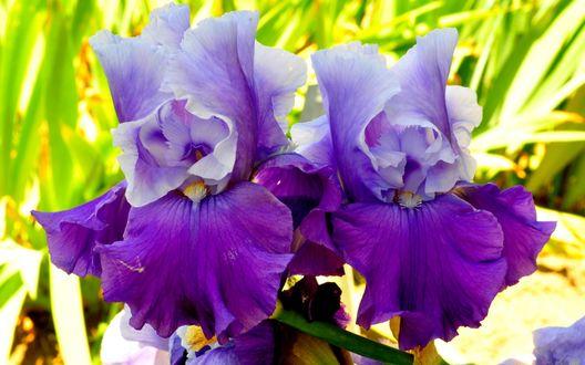 Обои Фиолетовые ирисы