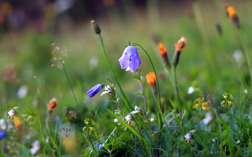 Заставки на рабочий стол лето цветы полевые