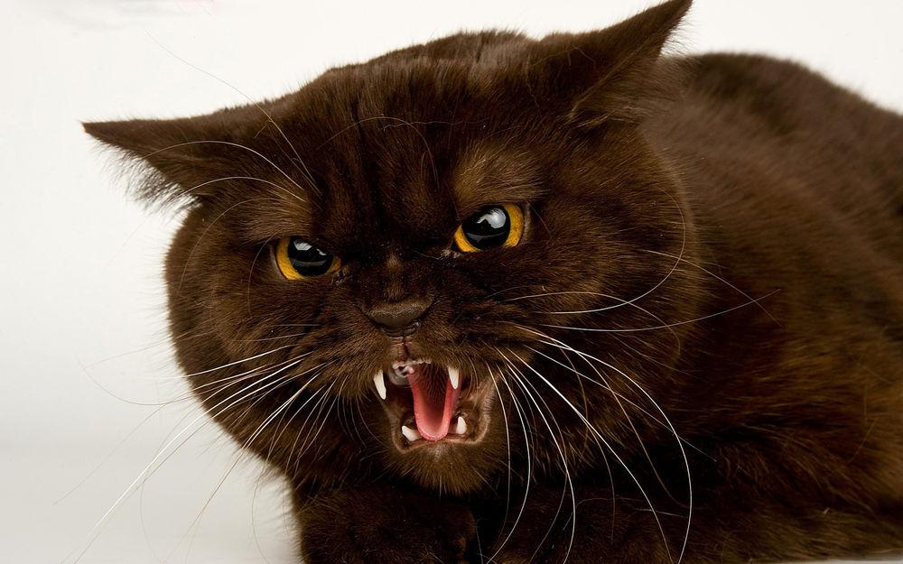 Картинки по запросу агрессивный кот