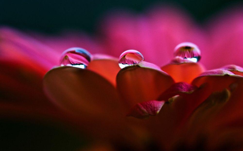 Обои для рабочего стола Лепестки цветка в каплях воды