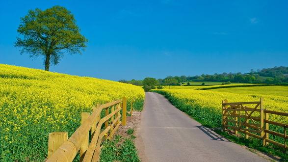 Обои Ярко - желтые цветы в поле, посреди поля проходит асфальтированная дорога