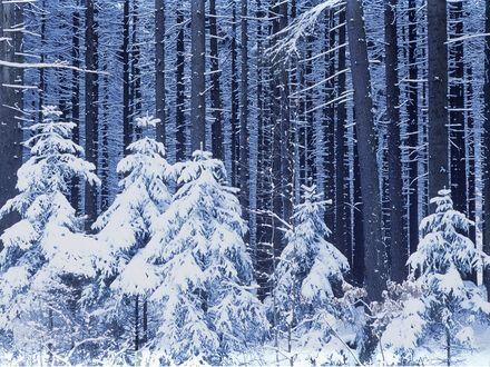 Обои Зимний лес, большие и маленькие елки покрыты снегом