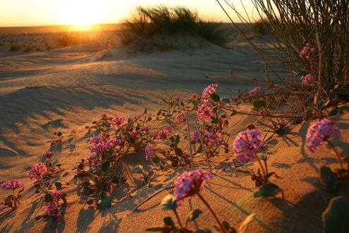 Обои Цветы в пустыне на закате солнца