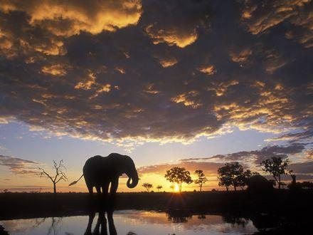 Обои Силуэт слона на водопое на закате дня