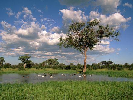Обои Утки плавают в воде возле большого дерева