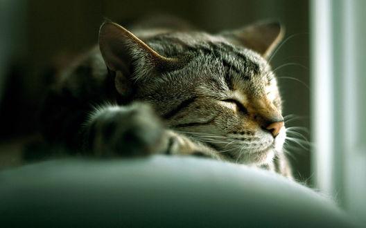 Обои Хранитель дома, спящий домашний серый кот
