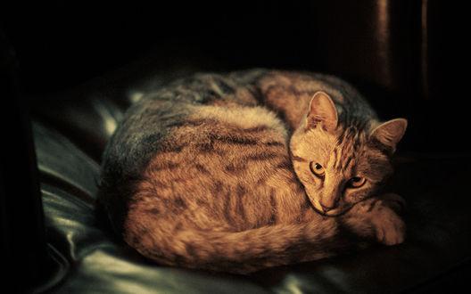 Обои Кошка, свернувшись клубком, смотрит в камеру