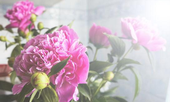 Обои Розовые пионы